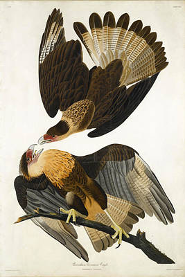 Drawing - Brasilian Caracara Eagle by John James Audubon