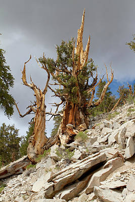 Photograph - Bristlecone Pine Tree 2 by Duncan Selby