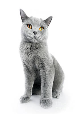 Photograph - British Shorthair Cat Isolated On White. Sitting by Michal Bednarek