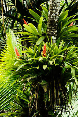 Epiphytic Photograph - Bromeliads El Yunque National Forest by Thomas R Fletcher