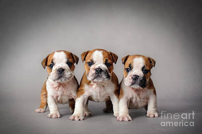 Photograph - Bulldog Puppies by Waldek Dabrowski