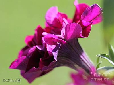 Photograph - Burgundy Double Cascade Petunia by J McCombie