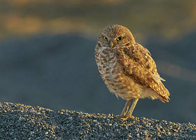 Lucille Ball Royalty Free Images - Burrowing Owl Royalty-Free Image by Doug Herr