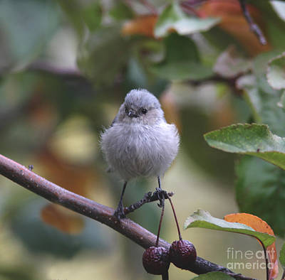 Grey Photograph - Bushtit by Gary Wing