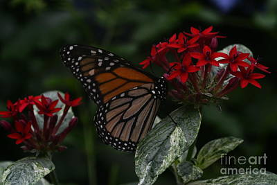 Photograph - Butterfly by Janice Spivey