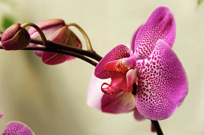 Photograph - Butterfly Orchid Flowers by Carl Ning