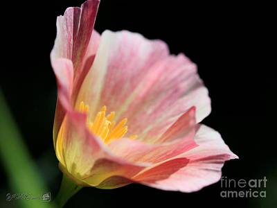 Photograph - California Poppy Named Rosa Romantica by J McCombie