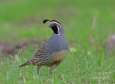 Grey Photograph - California Quail by Gary Wing
