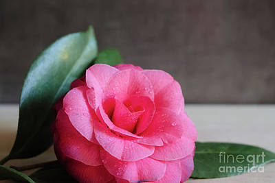 Photograph - Camellia by Andrea Anderegg