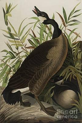 Canadian Goose Wall Art - Painting - Canada Goose by John James Audubon