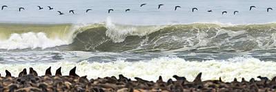 Of Birds Photograph - Cape Fur Seals Arctocephalus Pusillus by Panoramic Images