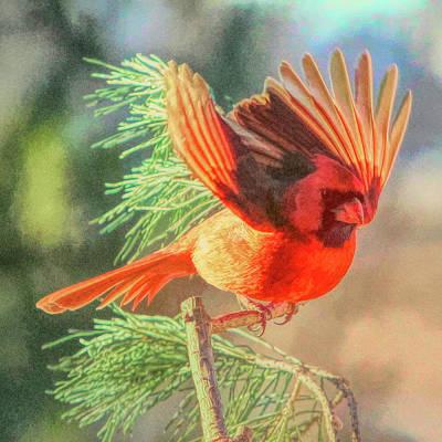Photograph - Cardinal by John Freidenberg