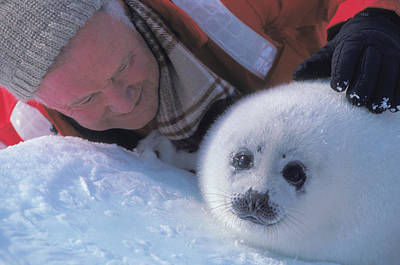 Photograph - Carl Purcell With Baby Harp Seal by Ann Purcell