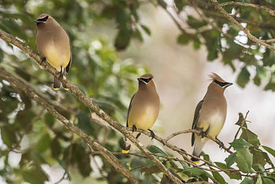 Cedar Waxing Photograph - 3 Cedar Waxwings  by Terry DeLuco