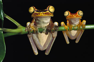 Ecuador Photograph - Chachi Tree Frog Hyla Picturata Pair by Pete Oxford