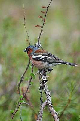 Photograph - Chaffinch by Jouko Lehto