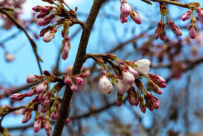 Photograph - Cherry Buds by Robert Ullmann