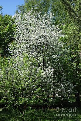 Photograph - Cherry Tree In Blossom by Irina Afonskaya