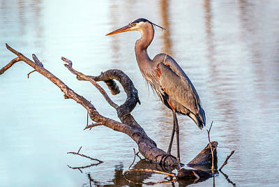 Photograph - Chesapeake Bay Great Blue Heron by Patrick Wolf