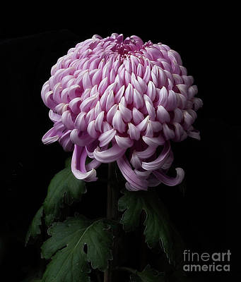 Photograph - Chrysanthemum 'jefferson Park' by Ann Jacobson