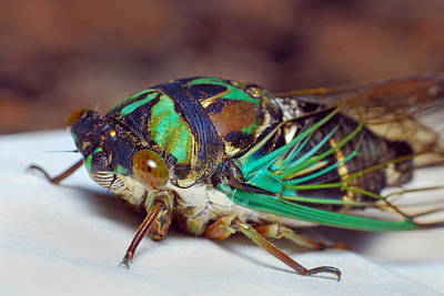 Fashion Paintings Rights Managed Images - Cicada Royalty-Free Image by Larah McElroy
