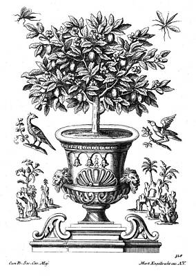 Potted Drawing - Citrus Trees by Martin Engelbrecht