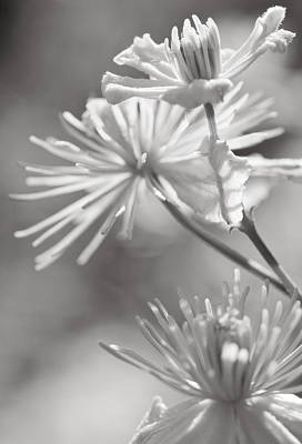 Plant Photograph - Clematis by Lise-Lotte Larsson