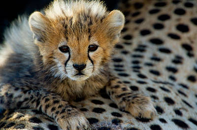 Close-up Of Cheetah Acinonyx Jubatus Art Print by Panoramic Images