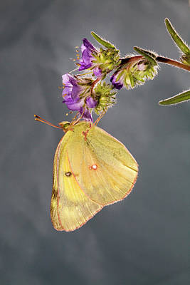Colias Philodice Photograph - Clouded Sulphur Butterfly by Buddy Mays