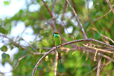 Photograph - Colorful Little Green Bird Named Bee-eater Is Sitting On A Dry Twig by Regina Koch