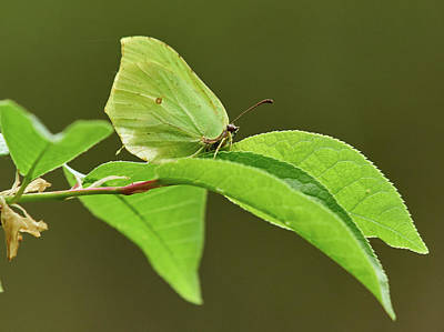 Photograph - Common Brimstone by Jouko Lehto