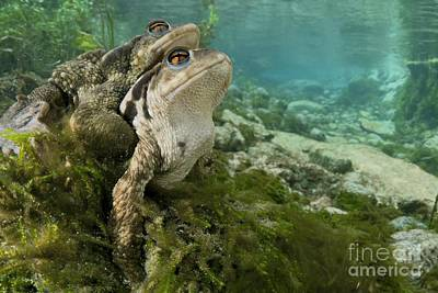 Bufonidae Photograph - Common Toads Mating by Angel Fitor