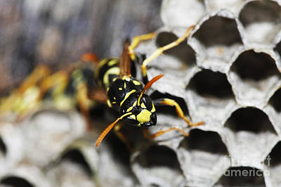 Hornets Nest Photograph - Common Wasp Vespula Vulgaris by Gerard Lacz