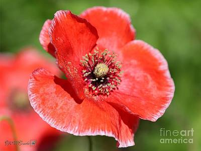 Photograph - Coral Red And White Poppy From The Angel's Choir Mix by J McCombie