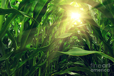 Corn Field Print by Carlos Caetano
