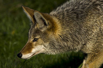 Best Stock Photograph - Coyote At Ridgefield National Wildlife Area by James Little