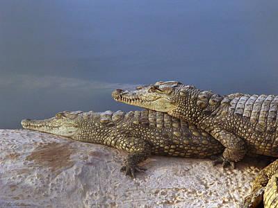 Crocodile Resting Art Print