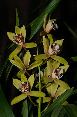 Digital Art - Cymbidium by Carol Ailles