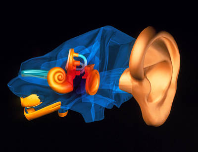 3-d Computer Model Of The Anatomy Of The Human Ear Art Print