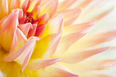Dew Photograph - Dahlia by Nailia Schwarz
