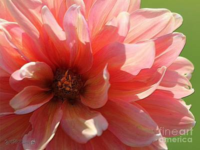 Photograph - Dahlia Named A La Mode by J McCombie