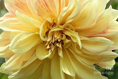 Painting - Dahlia Named Advance by J McCombie