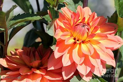 Photograph - Dahlia Named Nicholas by J McCombie