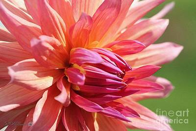 Painting - Dahlia Named Wyn's Pinking Of You by J McCombie