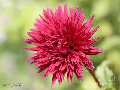 Photograph - Dahlia Named Xenon by J McCombie