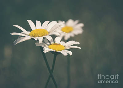 Photograph - 3 Daisies by Cheryl Baxter