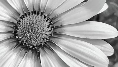 Photograph - Daisy In Black And White by Bruce Bley