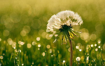 Flower Digital Art - Dandelion by Super Lovely