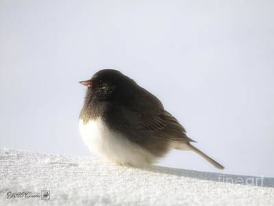 Photograph - Dark-eyed Junco - Slate-colored Race by J McCombie