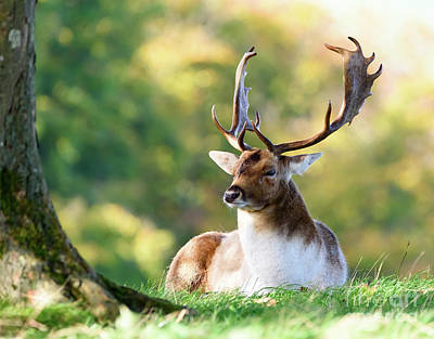 Photograph - Deer Stag by Colin Rayner